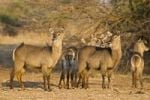 Thumbnail Waterbucks (Kobus ellipsiprymnus), South Luangwa National Park, Zambia, Africa