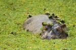 Thumbnail Hippopotamus (Hippopotamus amphibius) in a small water hole with aquatic plants, South Luangwa National Park, Zambia, Africa