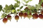 Thumbnail Gooseberries on a branch