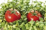 Thumbnail Tomatoes and cress
