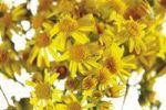 Thumbnail Ragwort, current poisonous plant