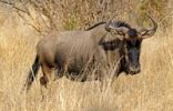 Thumbnail Blue Wildebeest (Connochaetes taurinus) in the dry grass of the African savanna
