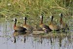 Thumbnail White-faced Whistling Duck (Dendrocygna viduata), Moremi National Park, Okavango Delta, Botswana, Africa