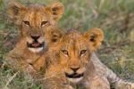 Thumbnail Lions (Panthera leo), cubs, Moremi National Park, Okavango Delta, Botswana, Africa
