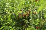 Thumbnail cherries at the tree