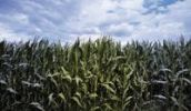Thumbnail Genetically modified maize