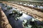 Thumbnail Zucchini cultivation under black mulch foil