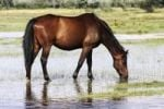 Thumbnail Austrian, brown warmblood horse drinking water on a wet meadow
