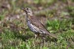 Thumbnail Song Thrush(Turdus philomelos) looking for food on the ground