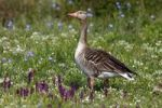 Thumbnail Greylag Goose (Anser anser) standing in a meadow with orchids