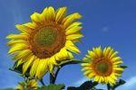 Thumbnail Sunflowers (Helianthus annuus)