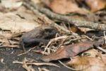 Thumbnail Brazilian free-tailed bat (Tadarida brasiliensis), Alta Floresta, Mato Grosso, Brazil, South America