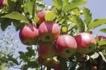 Thumbnail Red apples on a branch