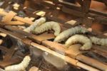 Thumbnail Silkworms (Bombyx mori), sericulture, silk farming, Dalat capital, Central Highlands, Vietnam, Asia