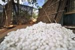 Thumbnail White silkworm cocoons lying in a pile, in the back woven racks for breeding, sericulture, silk farming, harvesting, Dalat capital, Central Highlands, Vietnam, Asia