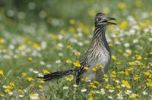 Thumbnail Greater Roadrunner (Geococcyx californianus), adult in wildflowers, Choke Canyon State Park, Texas, USA
