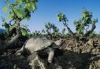 Thumbnail Herman's Tortoise (Testudo hermanni), adult in vineyard, Samos, Greek island, Greece, Europe