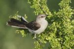 Thumbnail Northern Mockingbird (Mimus polyglottos), adult on saffron plum (Sideroxylon celastrinum), Willacy County, Rio Grande Valley, Texas, USA