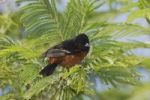 Thumbnail Orchard Oriole (Icterus spurius), male, South Padre Island, Texas, USA