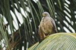 Thumbnail Roadside Hawk (Buteo magnirostris), adult perched on palm frond, Central Pacific Coast, Costa Rica, Central America