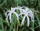 Thumbnail Swamp Lily (Crinum americanum), blooming, Everglades National Park, South Florida, USA