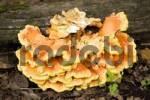 Thumbnail Yellow banded Polypore Fomitopsis pinicola mushroom