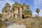 Thumbnail Trail through petticoat palm trees, Desert Fan Palms (Washingtonia filifera), Mc Callum Grove, Coachella Valley Preserve, Palm Desert, Southern California, California, USA