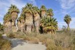 Thumbnail Trail through petticoat palm trees, Desert Fan Palms (Washingtonia filifera), Mc Callum Grove, Coachella Valley Preserve, Palm Desert, Southern California, California, USA