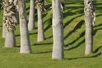 Thumbnail Palm trunks, throwing shadows onto watered lawn, Indian Palm Country Club, Indio, Southern California, California, USA