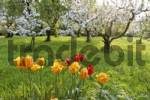 Thumbnail tulips and flowering apricot trees, area of Wachau, Lower Austria, Austria