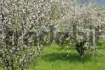 Thumbnail blooming fruit trees, area of Wachau, Lower Austria, Austria