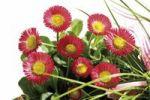 Thumbnail Bellis spring flowers