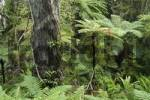 Thumbnail fern on the fuchsia walk, Oban, Stewart Island, New Zealand