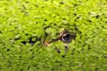 Thumbnail European edible frog, waterfrog (Rana esculenta) hiding in the water between Common duckweeds (Lemna minor), camouflage
