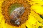 Thumbnail Roman snail, Edible snail, Burgundy snail (Helix pomatia) on a flowering Common sunflower (Helianthus annuus)