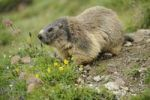 Thumbnail Alpine marmot (Marmota marmota)
