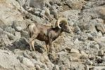 Thumbnail Bighorn sheep (Ovis canadensis), Borrego Palm Canyon, Anza Borrega Desert State Park, Borrego Springs, Southern California, USA