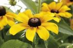 Thumbnail Black-eyed Susan, Blackiehead, Brown Betty, Gloriosa Daisy, Golden Jerusalem, Poorland Daisy, Yellow Daisy (Rudbeckia hirta)