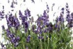 Thumbnail Lavender