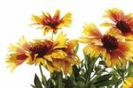 Thumbnail Gaillardia or Blanket flowers