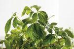 Thumbnail Jiaogulan (Gynostemma pentaphyllum)