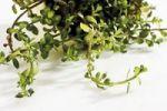 Thumbnail Coastal Waterhyssop, Brahmi, Thyme-leafed gratiola, Water hyssop (Bacopa monnieri)