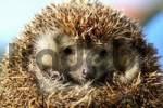 Thumbnail little hedgehog