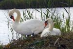 Thumbnail Couple of nesting and breeding Mute Swans (Cygnus olor)