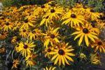 Thumbnail Cone flower cultivar Goldsturm (Rudbeckia fulgida var. sullivantii cultivar Goldsturm)