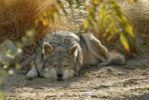 Thumbnail Mexican wolf (Canis lupus baileyi), sleeping, Park Living Desert, Palm Desert, California, USA