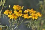 Thumbnail Mountain Marigold (Tagetes lemmoni), Living Desert Park, Palm Desert, Southern California, UESA