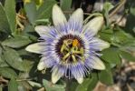 Thumbnail Passion Flower (Passiflora cerulea), fully bloomed