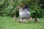 Thumbnail Domestic fowl with chicks
