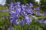 Thumbnail Lily of the Nile, Blue Lily, African Lily, Common Agapanthus (Agapanthus praecox ssp. orientalis)